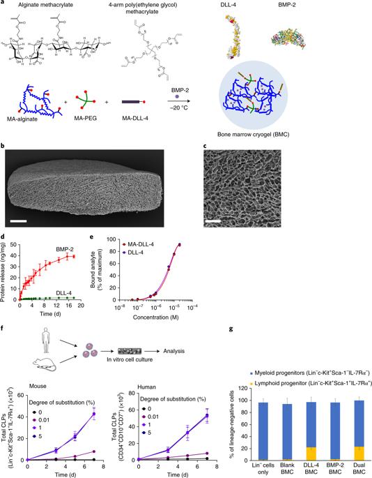 Rejuvenescendo o sistema imune com um Timo fabricado em laboratório