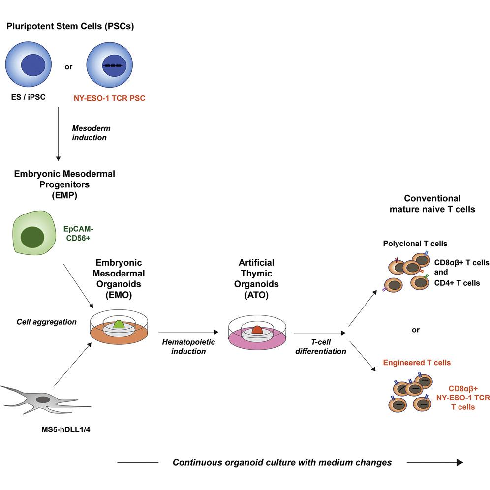Imunoterapia de células CAR-T contra o câncer, direto do laboratório para o paciente
